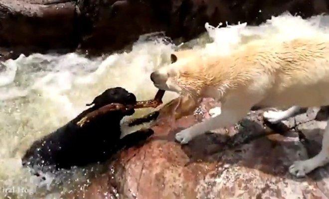 Un chien en retire un autre d'un torrent rapide