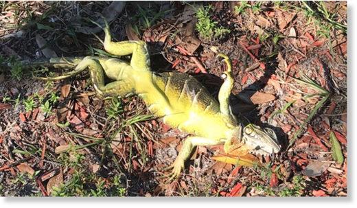 Il fait si froid que les iguanes tombent des arbres en Floride