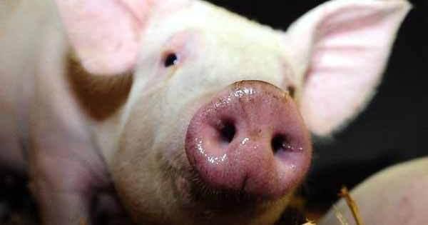 Du Porc Congelé est Carrément tombé du Ciel en Floride…