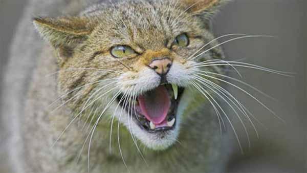 Vidéo: La bête de Clashindarroch : Le plus grand chat sauvage a été filmé pour la première fois