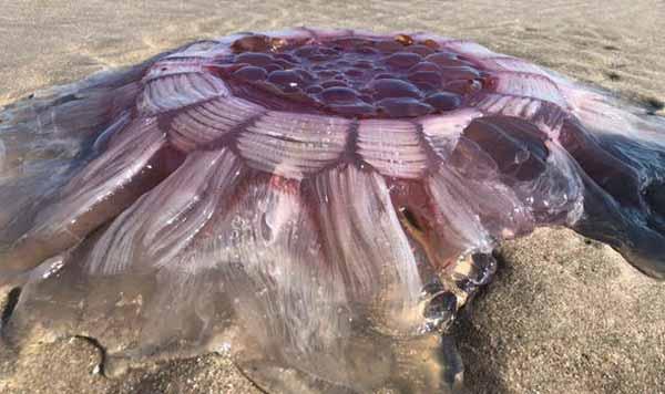 """Une méduse """"extraterrestre"""" toujours vivante retrouvée sur une plage en Nouvelle Zélande"""
