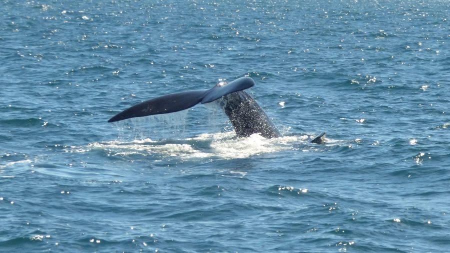 O que fazer em Puerto Madryn - Observação de baleias