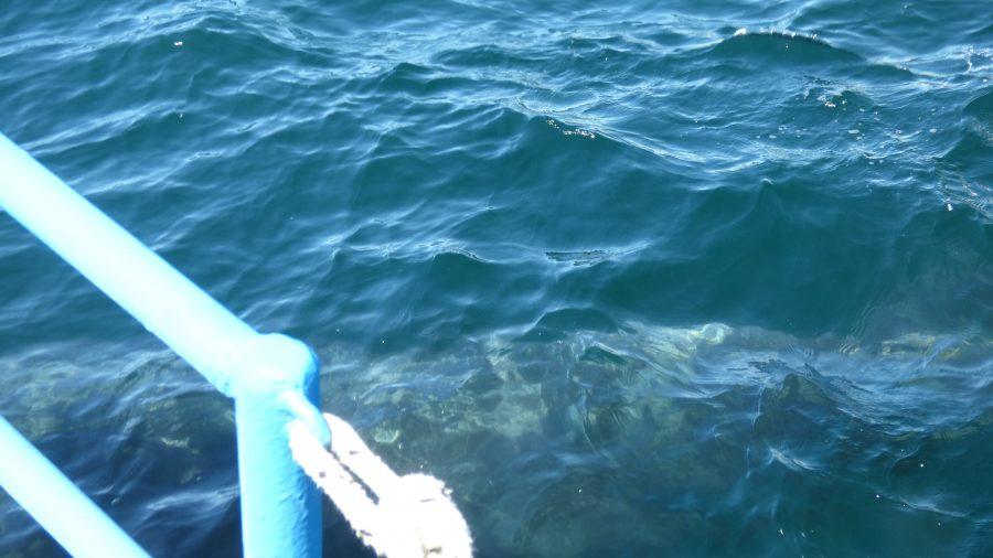 Uma baleia franca austral passando bem embaixo do barco em que estávamos 😱