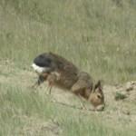 Mara (lebre-patagônica)