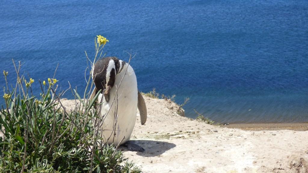 Pinguim na Península Valdes