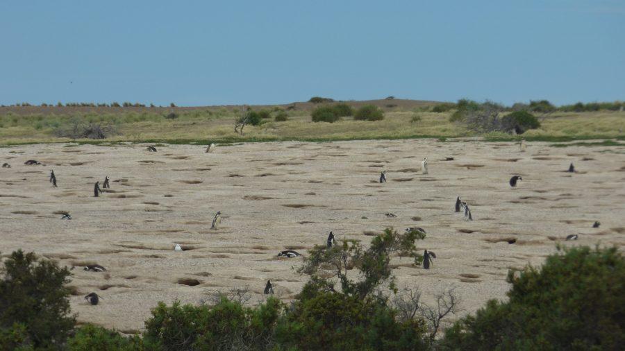 Vários pinguinzinhos e vááááários ninhos de pinguinzinhos rs