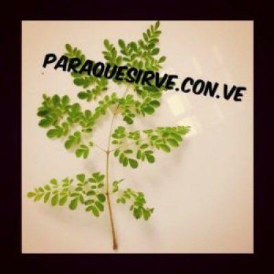 Moringa Planta Para Que Sirve
