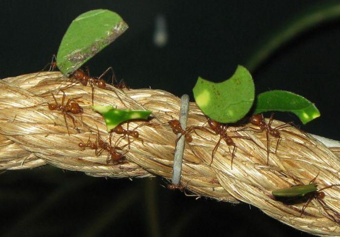 Dung Beetle, hewan terkuat di dunia