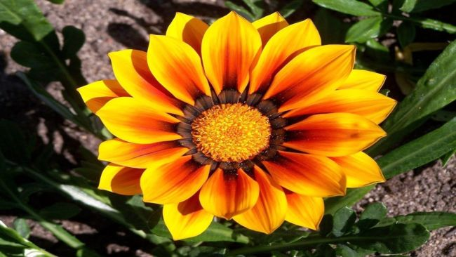 Gambar Bunga Gazania