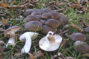 Съедобные грибы рядовки