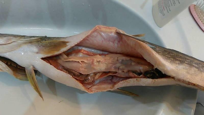 Фото солитера в рыбе
