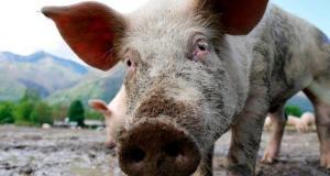 Свиная аскарида: симптомы, лечение, профилактика