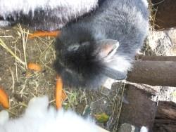 coniglietto grigio e carotine