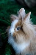 coniglio ariete 2