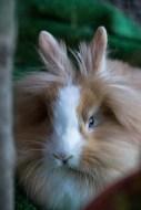 coniglio ariete