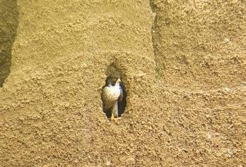 Falco pellegrino avvistato nei pressi della campagnanese