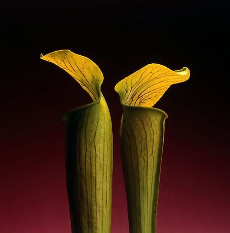 "Robert Mapplethorpe - ""Double jack in the pulpit"" - 1988 - Photo Pinterest"