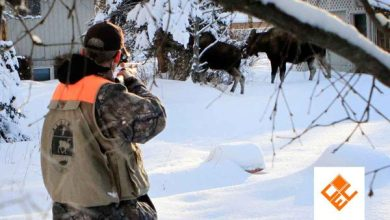 Photo of Latihan Listening: Alaska Officials Use DNA to Help Count City Moose