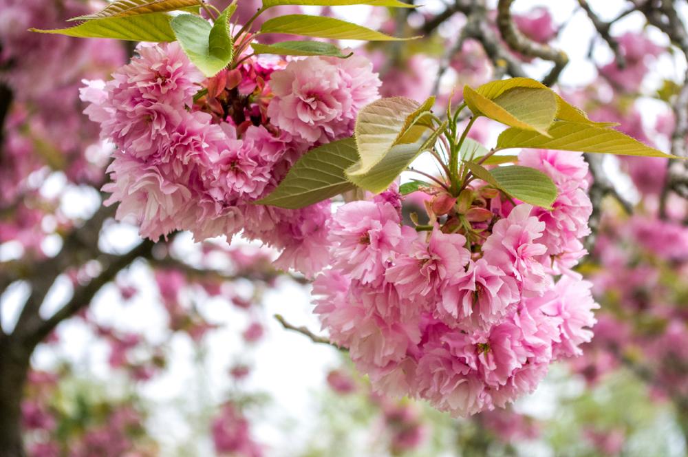 toulouse jardin japonais printemps