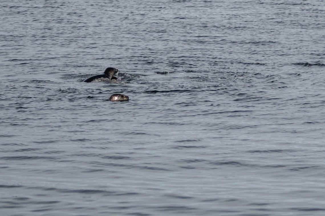 phoques dans l'eau