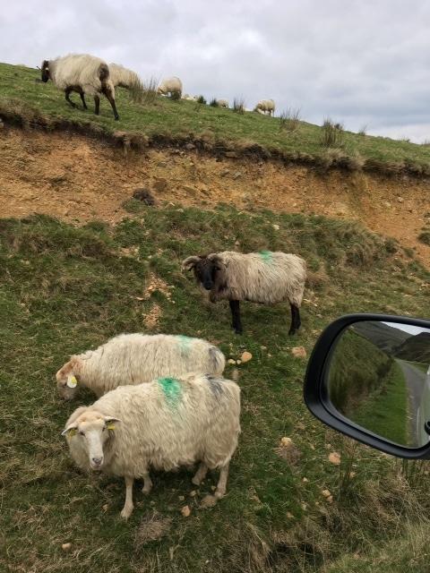 Lecumberry, traversée de moutons