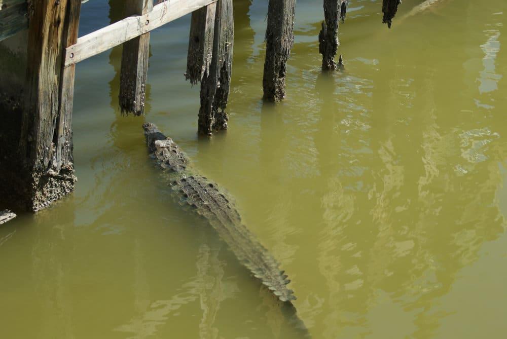 Un beau spécimen de crocodile américain