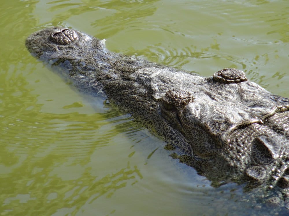Le crocodile américain