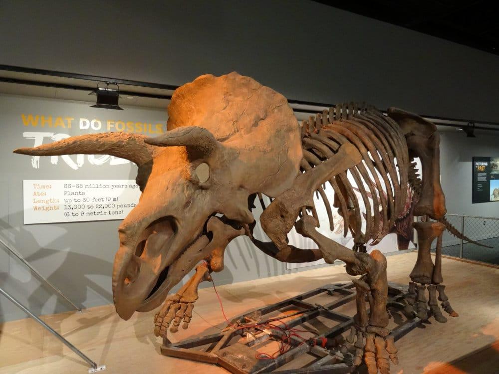 Un triceratops