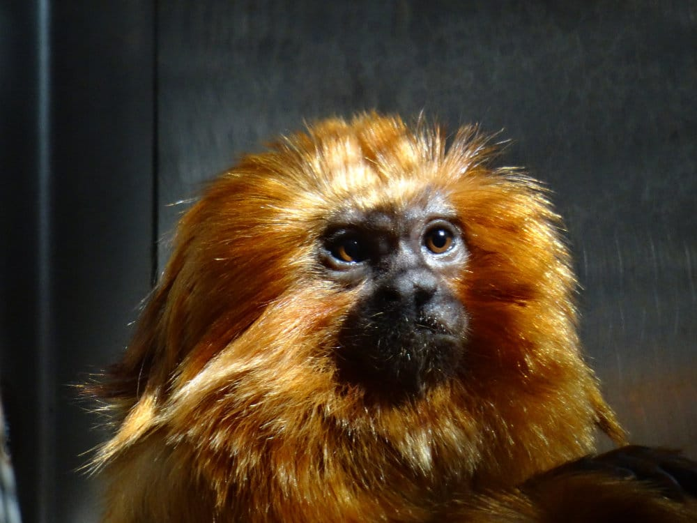 Un tamarin lion du zoo de Washington