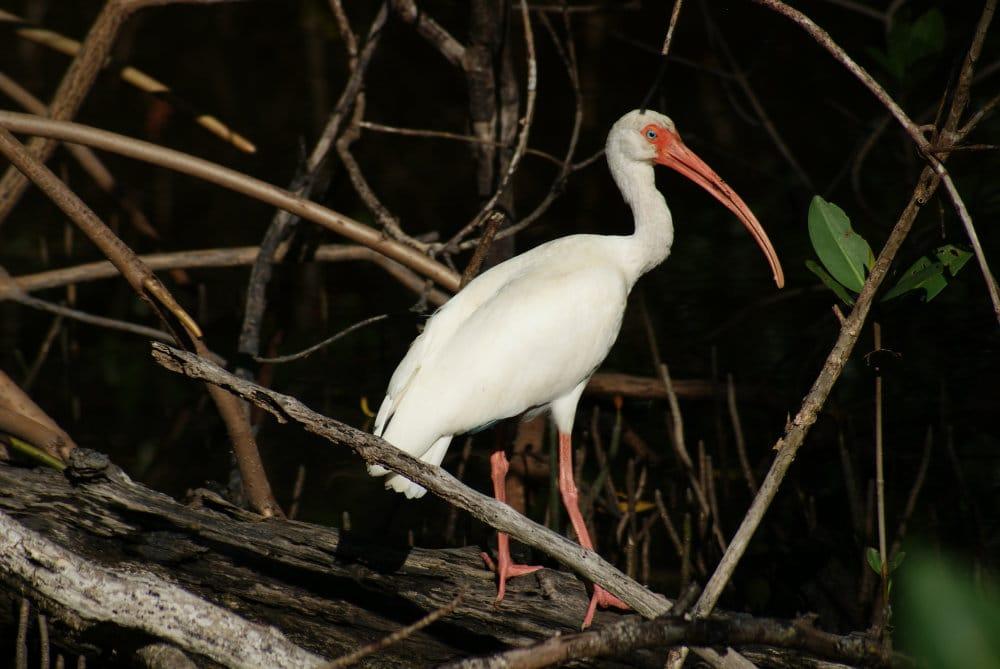 Un ibis blanc