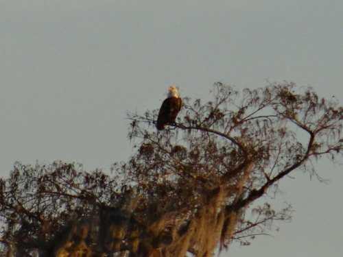 Un Bald Eagle à la cime des arbres