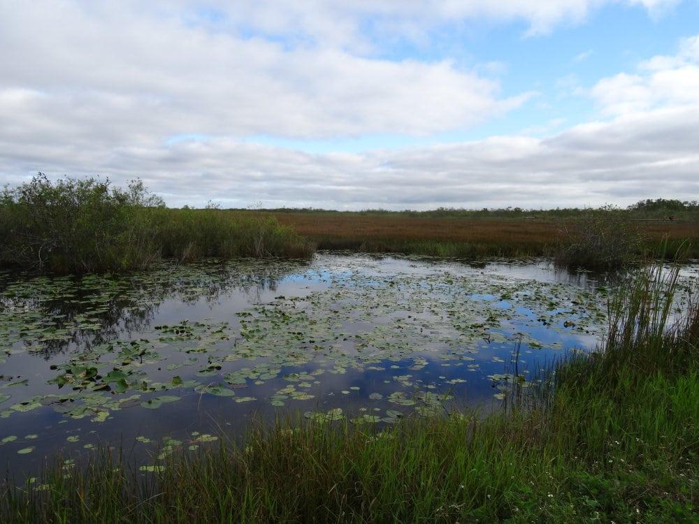 Des nénuphars dans les marais des Everglades