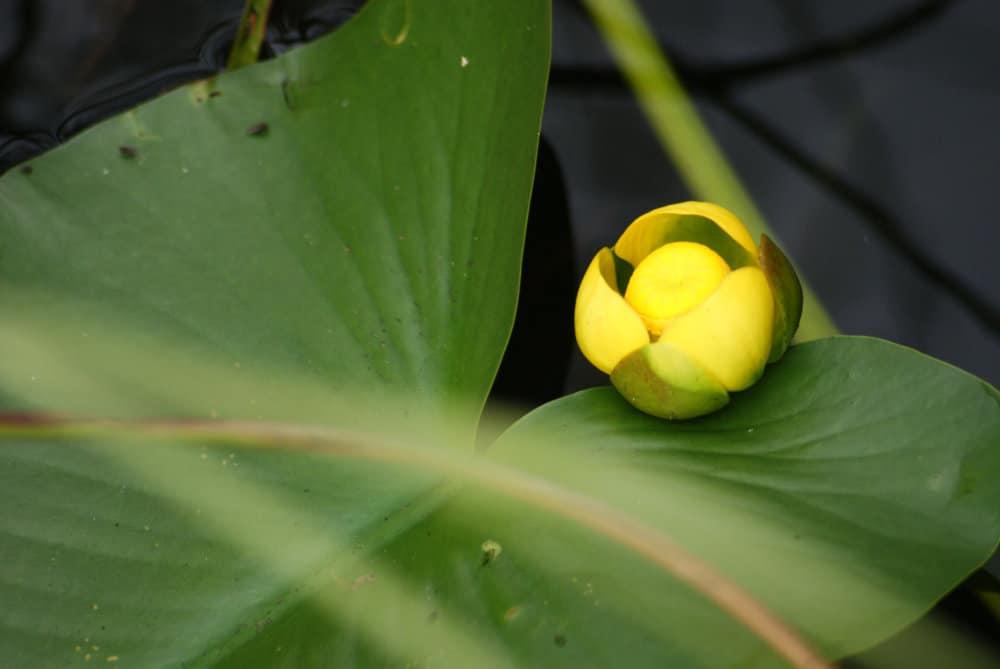 Un nénuphar jaune sur le point d'éclore