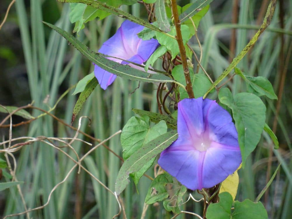 Une fleur colorée dans la mangrove