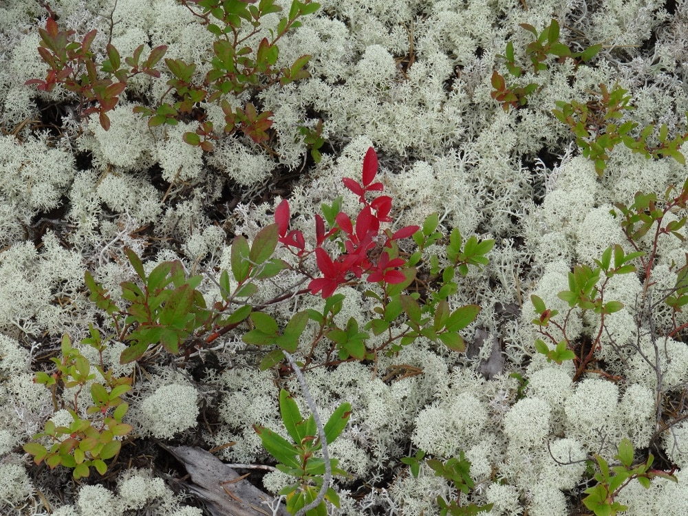 Lichens dans les forêts du Cap Breton