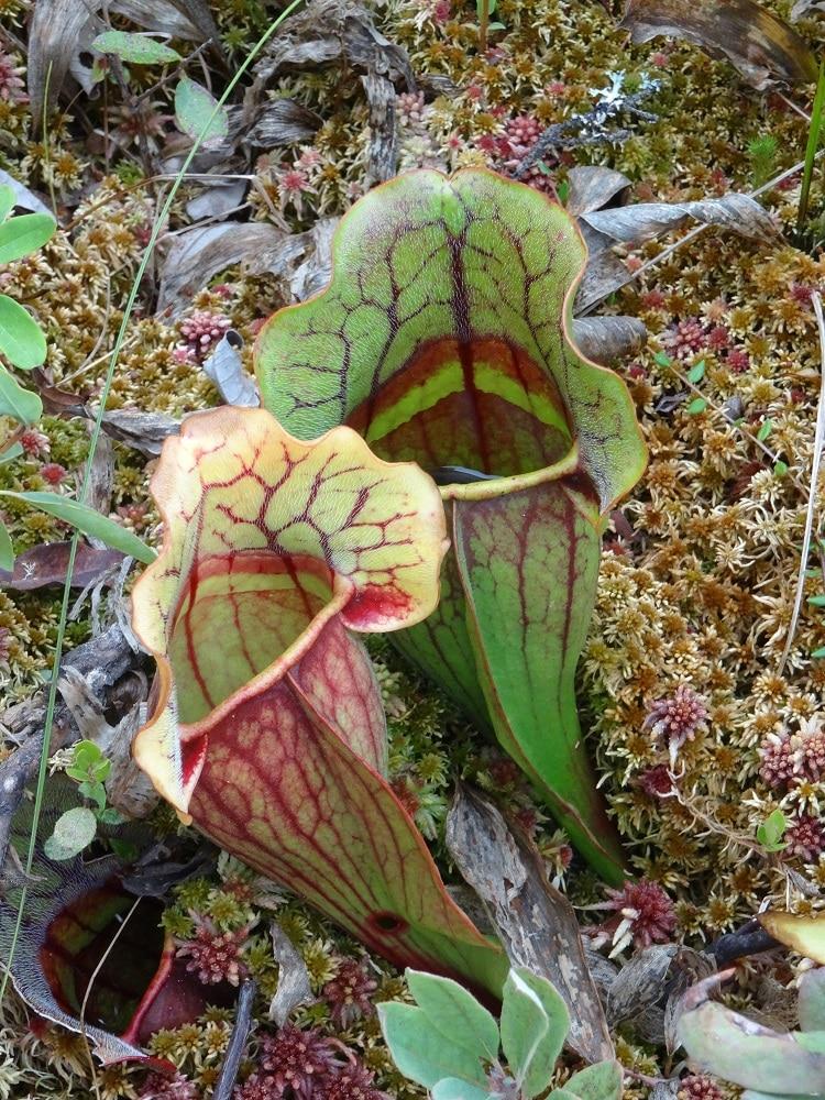 Plantes carnivores à Kouchibouguac