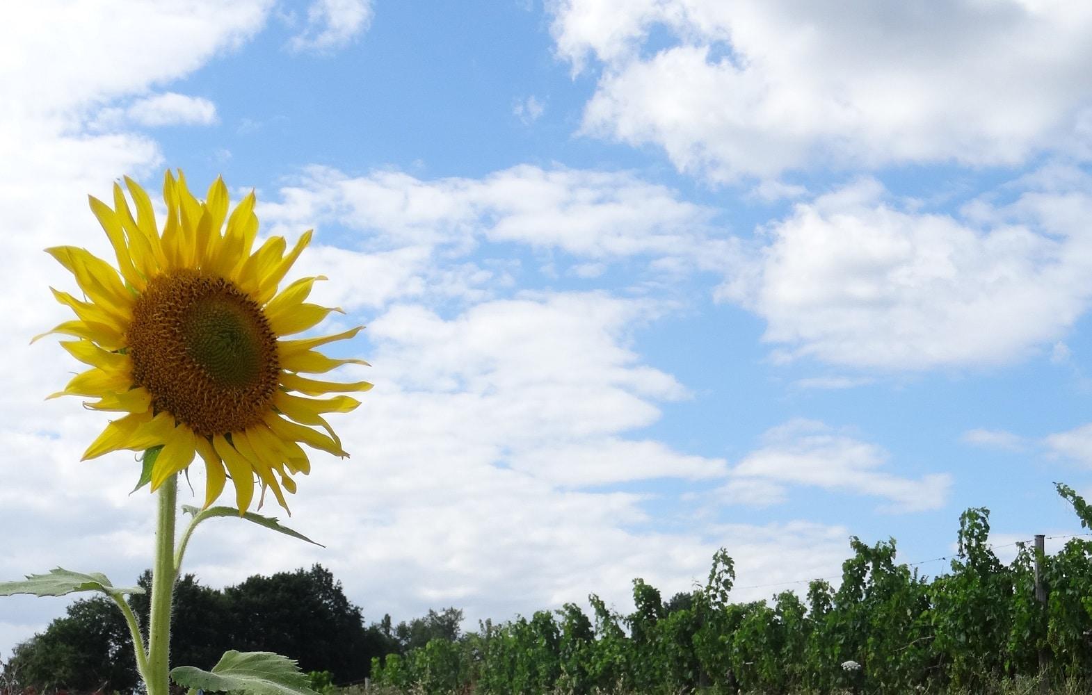Un tournesol (Nérigean - Gironde)