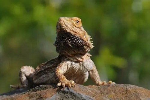 Common Bearded Dragon Health Issues