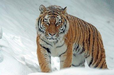 violence du tigre