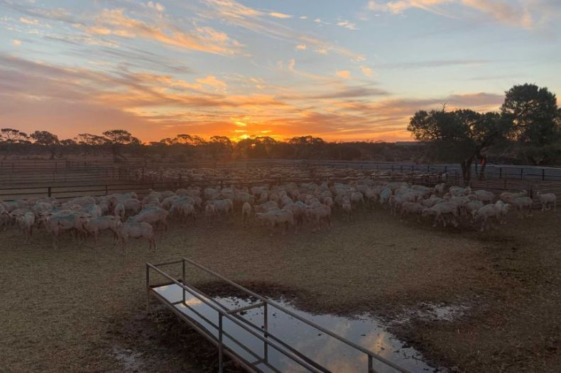 Hundreds of sheep look at the camera under a blue and purple sky.