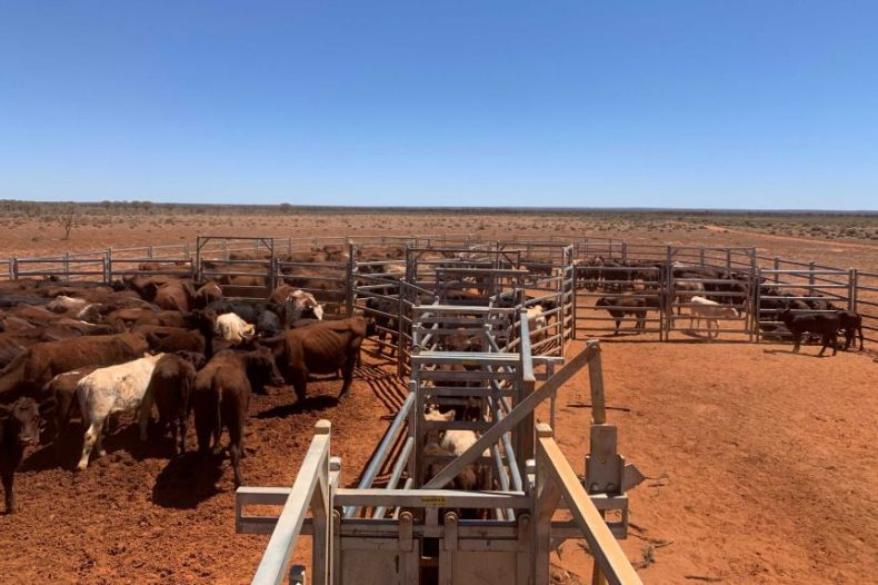 Large brown, white and black cattle move between metal fences on dark brown dirt.