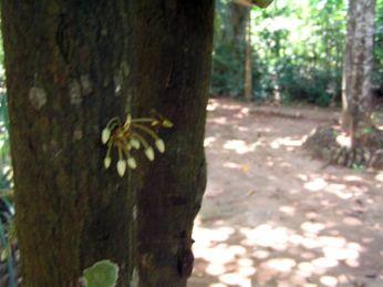 Kakao - květy * Cocoaa flowers