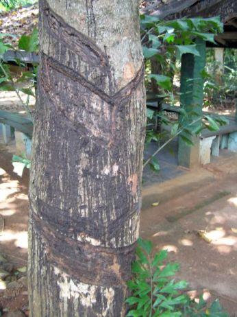 Gumovník - zářezy pro odběr kaučuku * Rubber tree - notches for collection of rubber