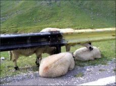 Ovce nerespektují předpisy.