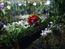 orchid_market_krabi_romana_granatova (12)