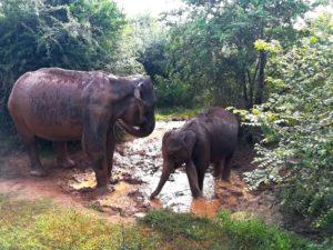 blog-voyage-couple-parfums-de-liberte-leo-et-julie-petit-budget-safari-udawalawe-sri-lanka-bain-elephants