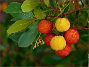 arbre-arbousier-2jpg