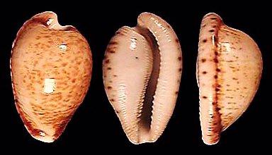 Cypraea Cypraeovula X Amphithales
