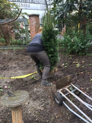 Ainsley sets the new Yews in place