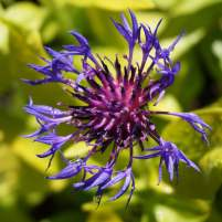 Tall blue cornflower4web